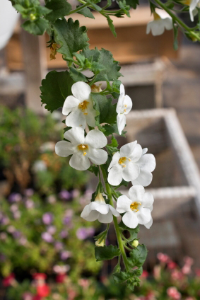 bacopa-may-help-prevent-alzheimers-and-dementia_300