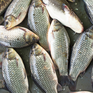 Why fish are contaminated with mercury easy health options for Why do fish have mercury