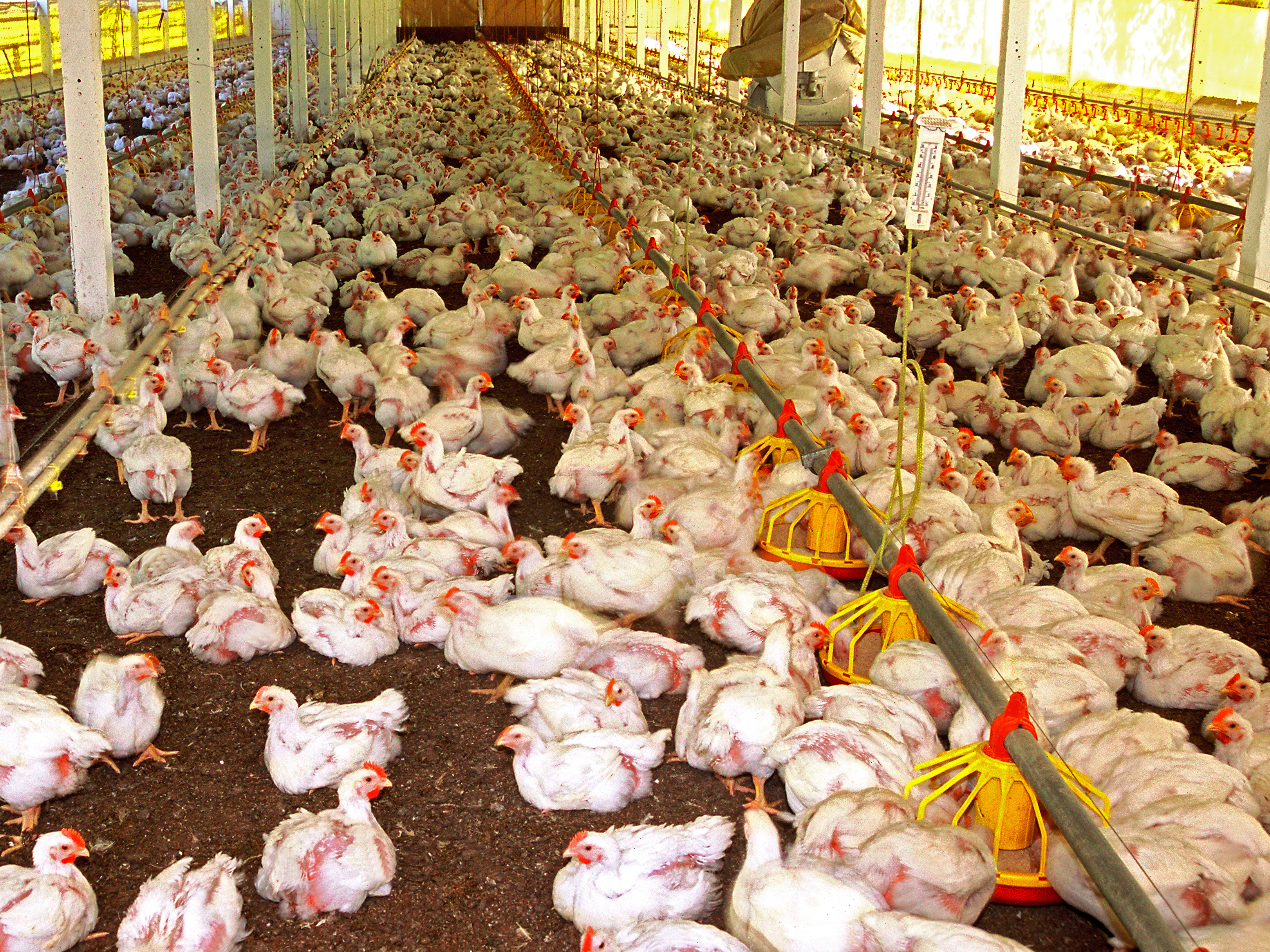 New USDA regulations could further corrupt poultry processing
