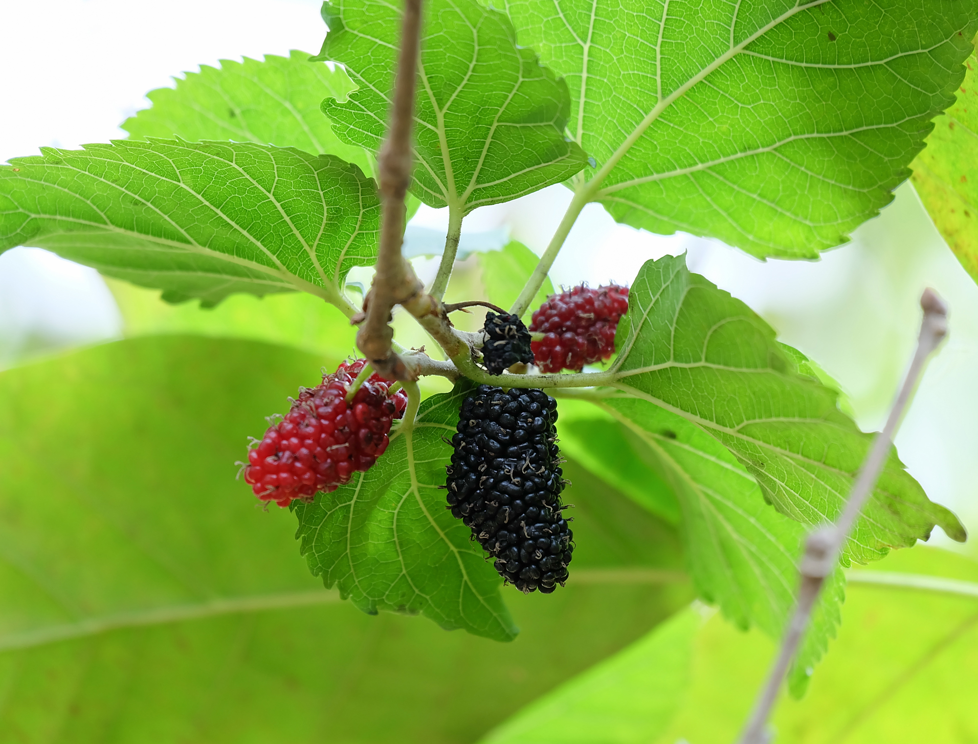 Mull this over: Berry compound helps you burn fat